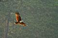 Brahmini Kite in Flight.jpg