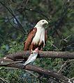 Brahminy Kite (16469397891).jpg