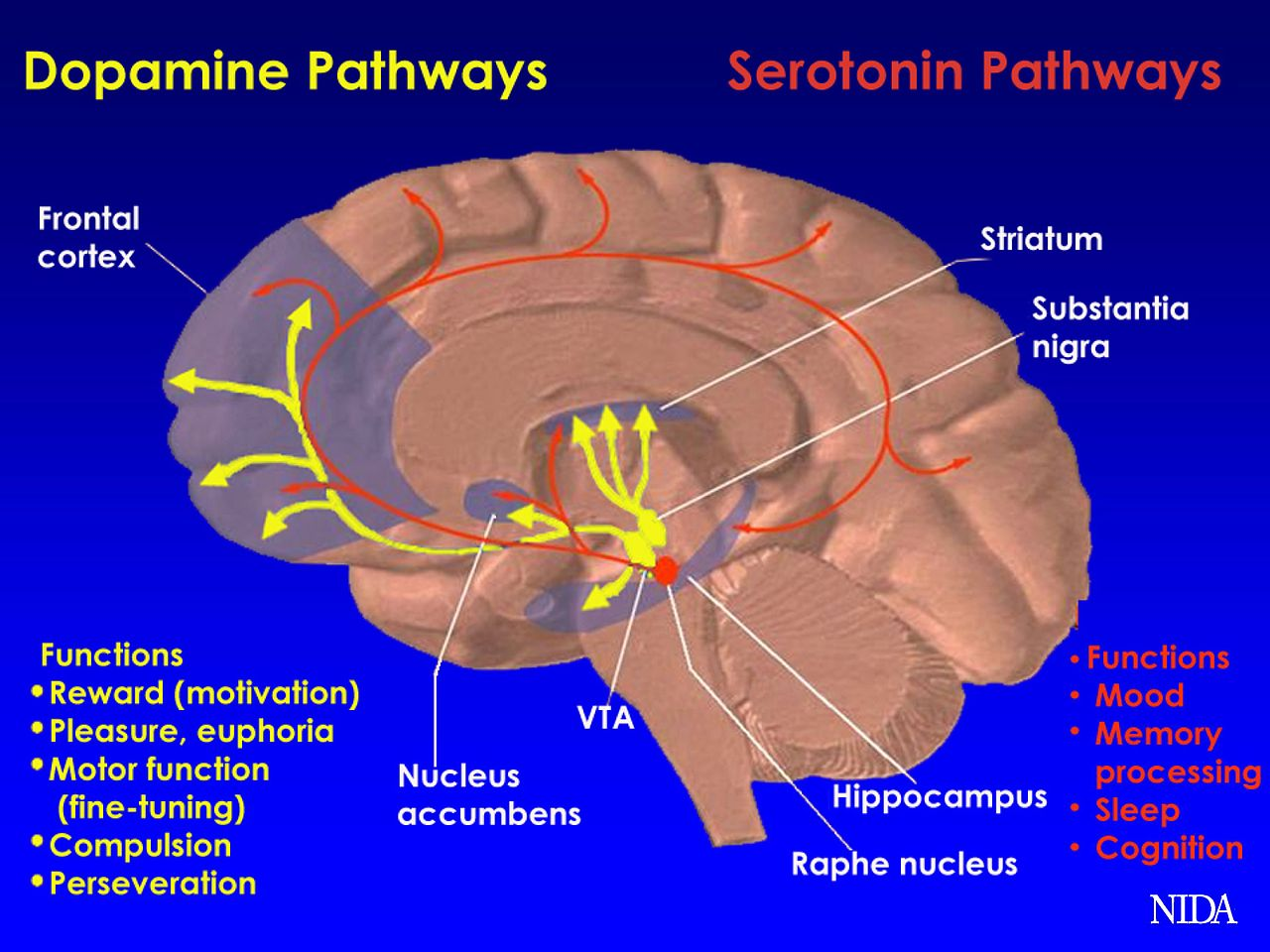 File Brain Pathways Da Wikimedia Commons: pathway images