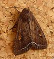 Bright-line Brown-eye. Lancanobia oleracea - Flickr - gailhampshire.jpg