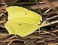 Brimstone Butterfly (25755213070).jpg