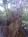 Bromélia em toco de eucalipto 2.jpg