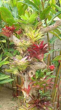 Bromelias sobre un tronco seco.jpg