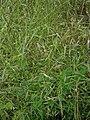 Bromus arvensis inflorescence (05).jpg