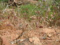 Bromus rubens and Bromus tectorum (6231120010).jpg