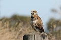 Brown Falcon (Falco berigora) (27571486738).jpg