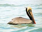 Brown Pelican - Flickr - treegrow (2).jpg