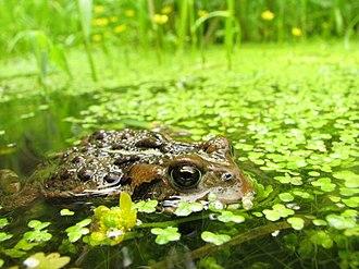 Ecology - Image: Bufo boreas