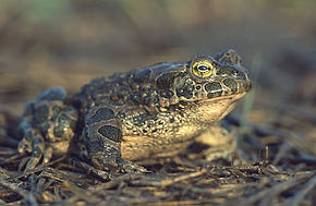 Description de l'image Bufo viridis (Marek Szczepanek).jpg.
