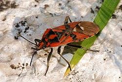 meaning of lygaeidae