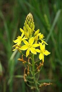 <i>Bulbine bulbosa</i> species of plant