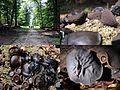 Bulgaria inquinans (GB= Black Bulgar, D= Schmutzbecherling, F= Bulgarie salissante, Syn. Bulgarie noire, NL= Zwarte knoopzwam) in their habitat (just cutted Oak trees) at Warnsborn at 21 August 2015 - panoramio.jpg
