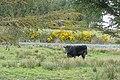Bull at Cahermurphy - geograph.org.uk - 1845502.jpg