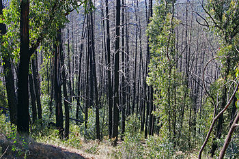 Bushfire regrowth in Australia, 2003; visually...