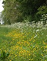 Buttercups and kek beside a bridleway - geograph.org.uk - 1325519.jpg