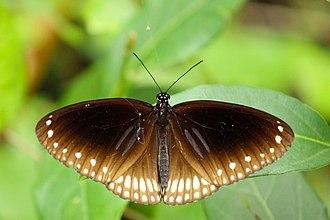 Euploea sylvester - Image: Butterflies of Kerala Euploea sylvester (Double Branded Crow) (2016.07.03)