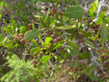 Buttonwood (2943326872).png