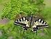 Byhlen Schwalbenschwanz Papilio machaon 02.JPG