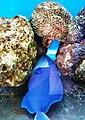 Cá bò đuôi én Nha Trang 2.jpg