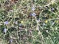 C. intybus flor-2.JPG