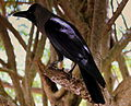 CROW AT GALLE FORT SRI LANKA JAN 2013 (8580283028).jpg