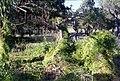 CSIRO ScienceImage 1455 Bridal Creeper.jpg