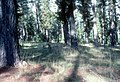 CSIRO ScienceImage 1571 Pine plantation.jpg