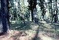 CSIRO ScienceImage 1571 Pine plantation.jpg