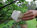 CSIRO ScienceImage 2435 Using Insect Pheromones Against Insect Infestation.jpg