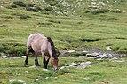 Cabalo no alto da Coma. Andorra 293.jpg