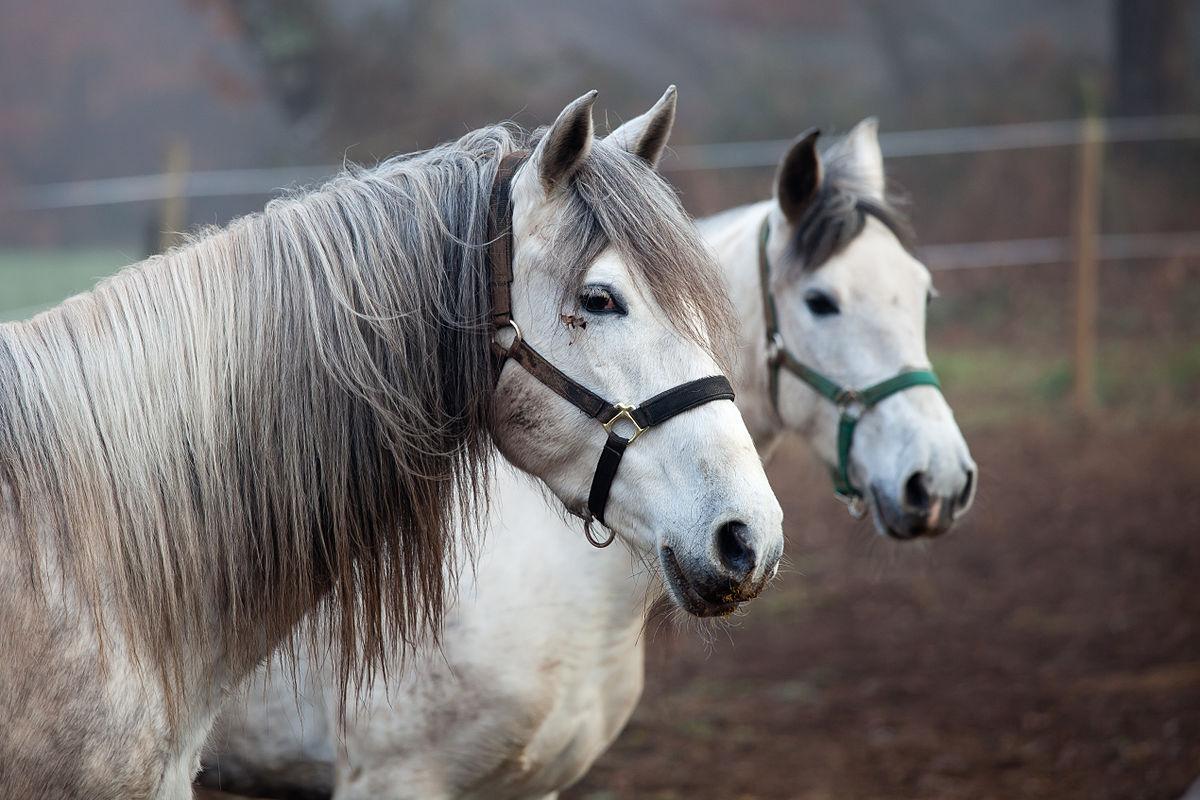 Kůň – Wikipedie 18833cb7df