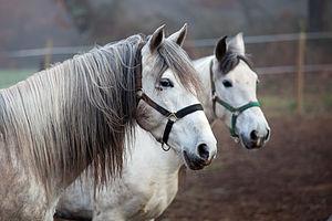 English: Horses, Codesedo, Doade, Lalín, Galic...