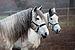 Cabalos en Codesedo - Doade - Lalín - Galicia.jpg