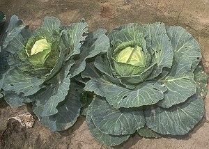 Brassica oleracea viridis Cabbage at a market ...