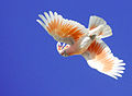 Cacatua leadbeateri -flying -Australia Zoo-8.jpg