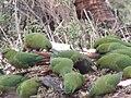 Cachañas-Enicognathus ferrugineus.jpg