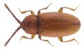 Caenoscelis subdeplanata Brisout de Barneville, 1882.png