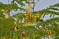 Caesalpinia sappan (Sappan wood) W IMG 3339.jpg