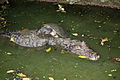 Caiman crocodilus in Barbados Wildlife Reserve 04.jpg