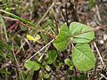 Cajanus scarabaeoides (5001522146).jpg