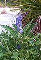 Caladesi island lavender01.jpg