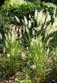 Calamagrostis arundinacea kz6.jpg