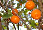 Calamondin in our front yard.jpg
