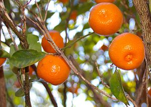 Calamondin - Image: Calamondin in our front yard