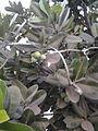 Calophyllum inophyllum (3).jpg