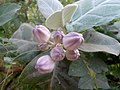 Calotropis gigantea crown flower buds at Madhurawada 05.JPG