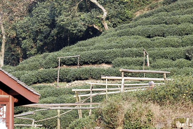 Longjing tea planting area near Hangzhou