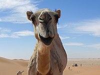 Camelus dromedarius in Saudi Arabia (8400052348).jpg