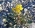 Camissonia brevipes 7.jpg