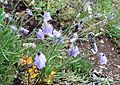 Campanula rotundifolia (harebell) - Flickr - brewbooks (1).jpg